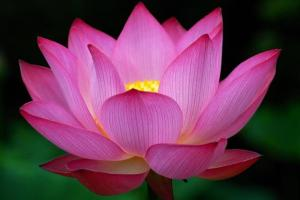Big dark pink Lotus Flower photo