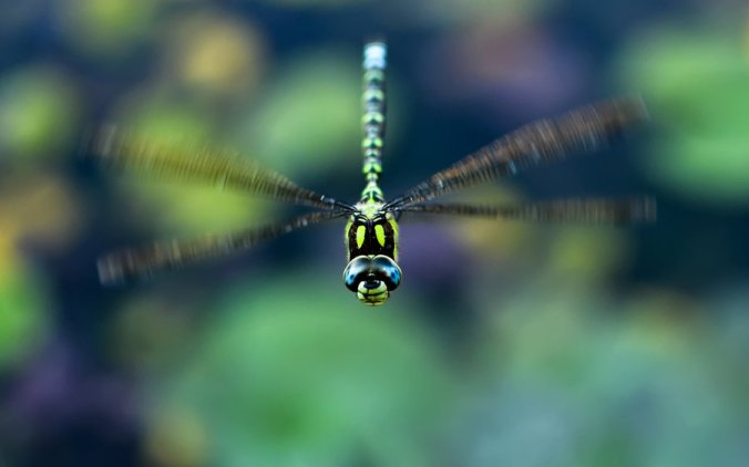flying_dragonfly_by_jsz-d4bl3e3